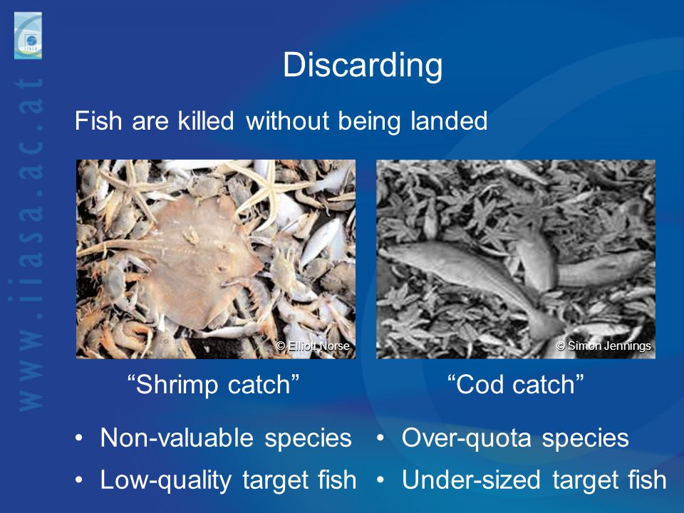Collateral Damage Bottom trawls destroy ocean-floor ecosystems © Peter Auster