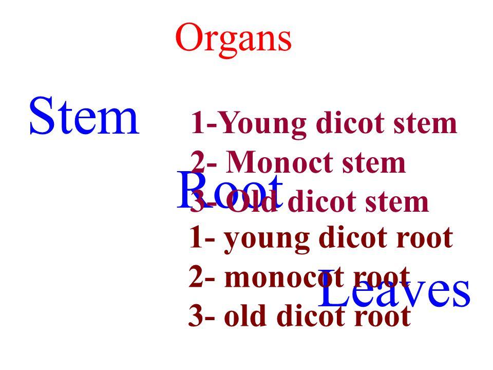 old dicot root Cork (phellem) Cork cambium (phellogen) Phelloderm 2 ry phloem Medullary rays Vascular cambium 2 ry xylem