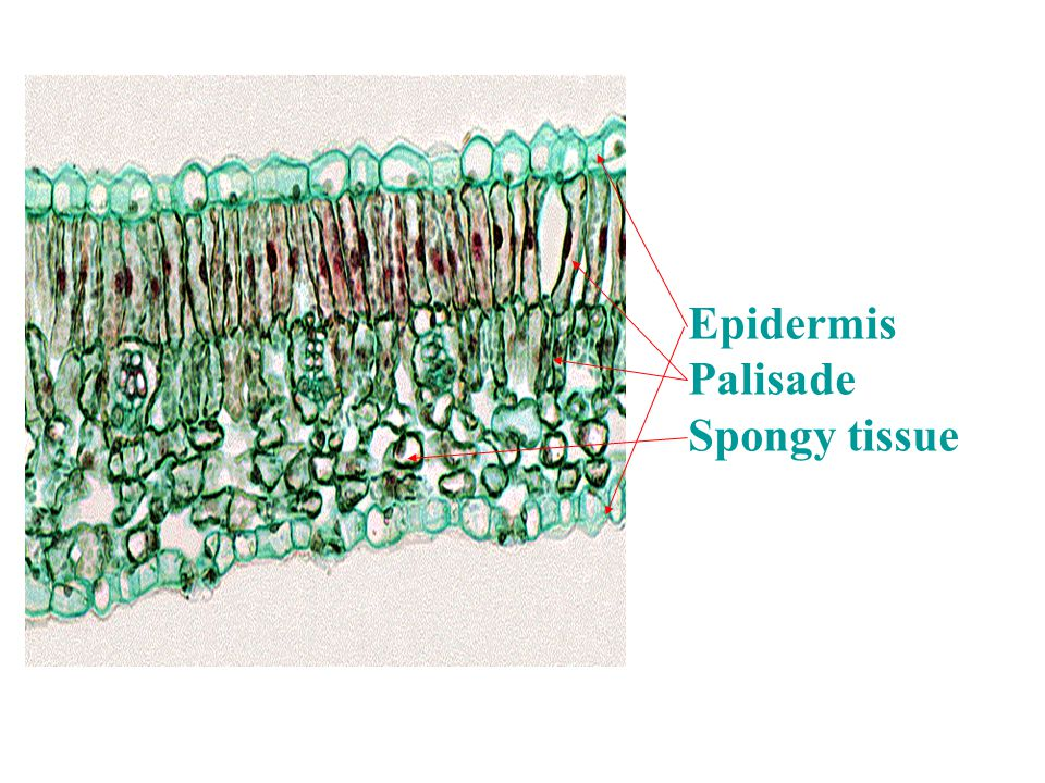 Epidermis Palisade Spongy tissue