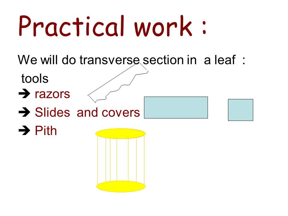 Practical work : We will do transverse section in a leaf : tools  razors  Slides and covers  Pith