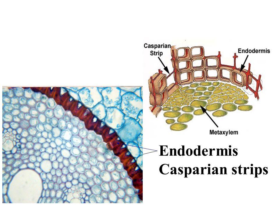 Endodermis Casparian strips