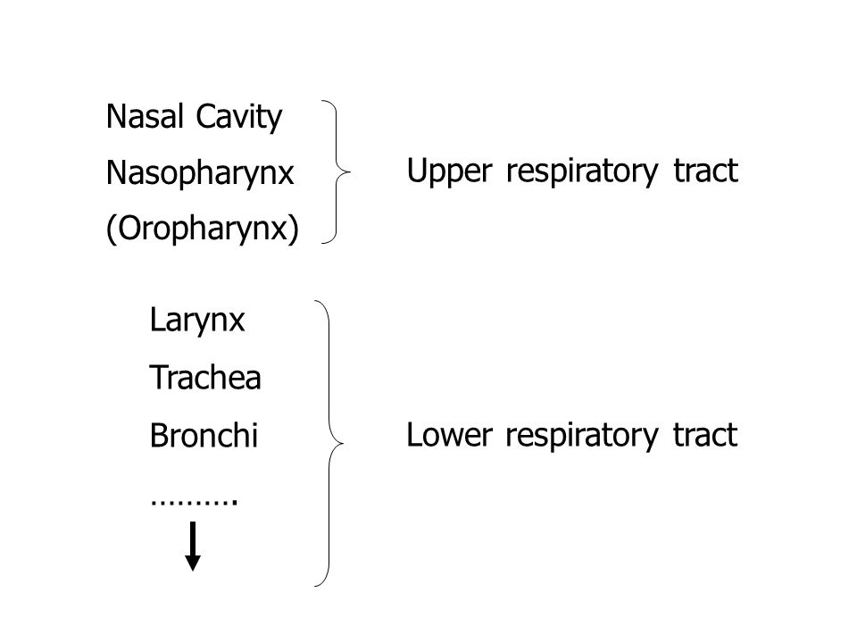 Nasal Cavity Nasopharynx (Oropharynx) Larynx Trachea Bronchi ……….