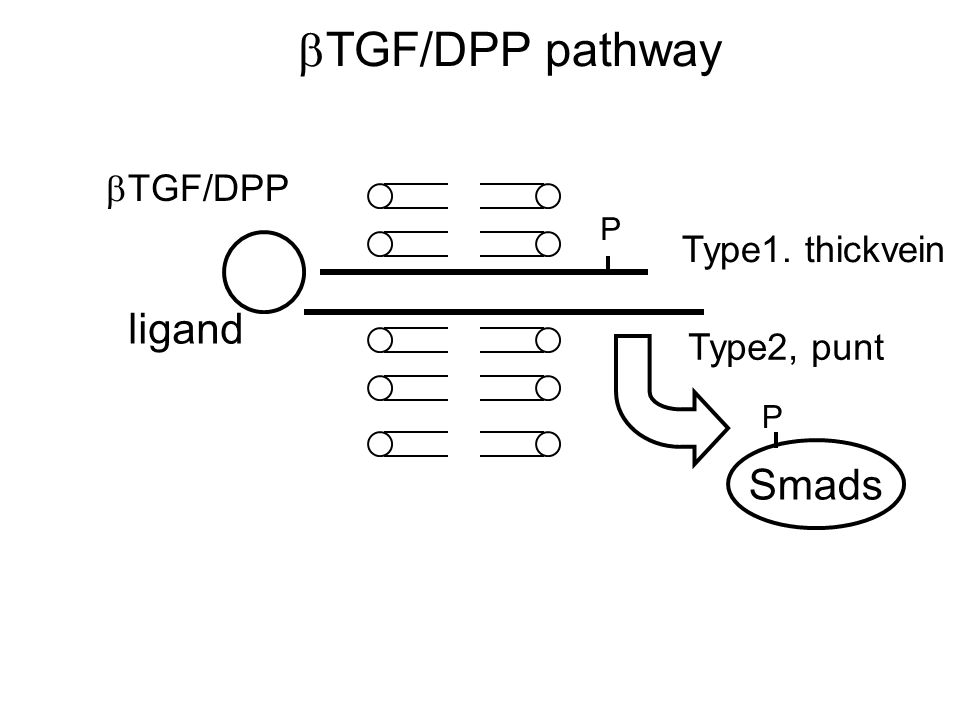  TGF/DPP pathway  TGF/DPP ligand Type1. thickvein Type2, punt Smads P P