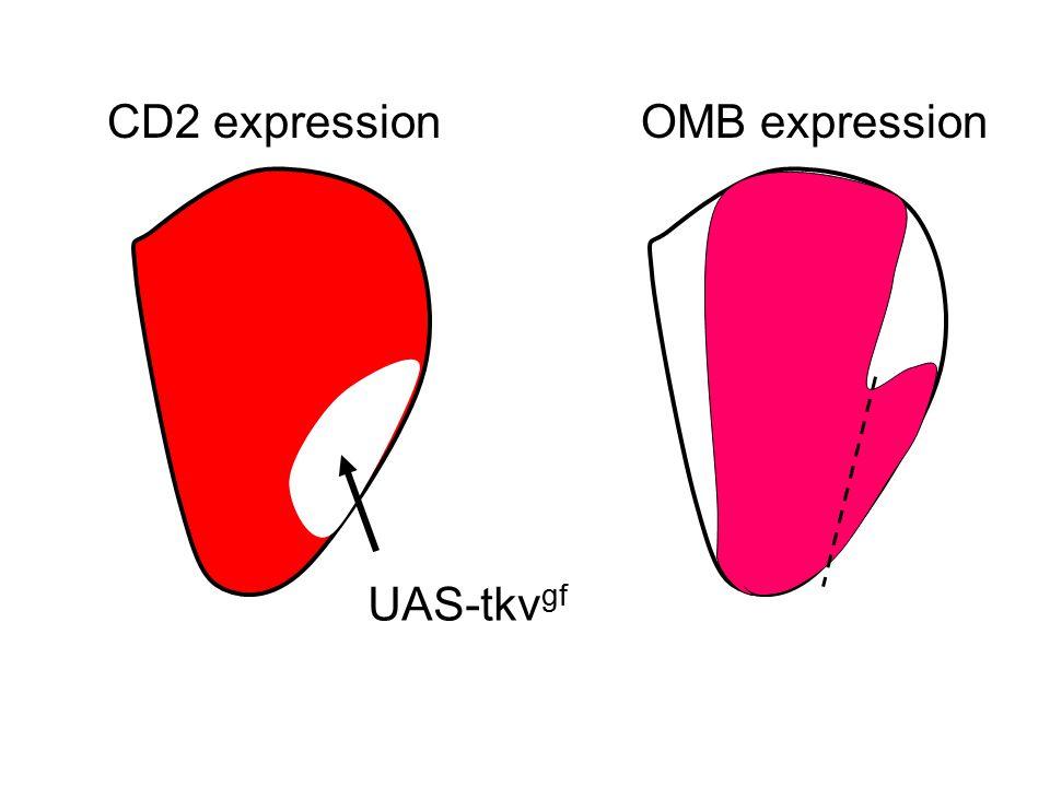 UAS-tkv gf CD2 expressionOMB expression