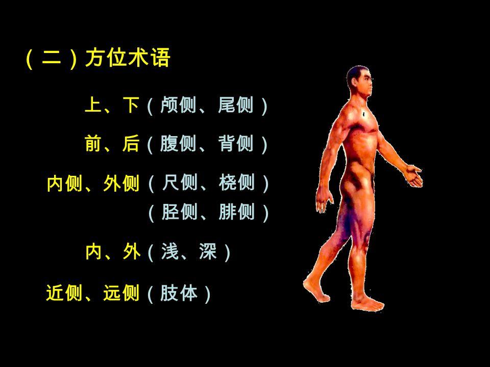 (二)方位术语 上、下(颅侧、尾侧) 前、后(腹侧、背侧) 内侧、外侧 内、外(浅、深) 近侧、远侧(肢体) (尺侧、桡侧) (胫侧、腓侧)