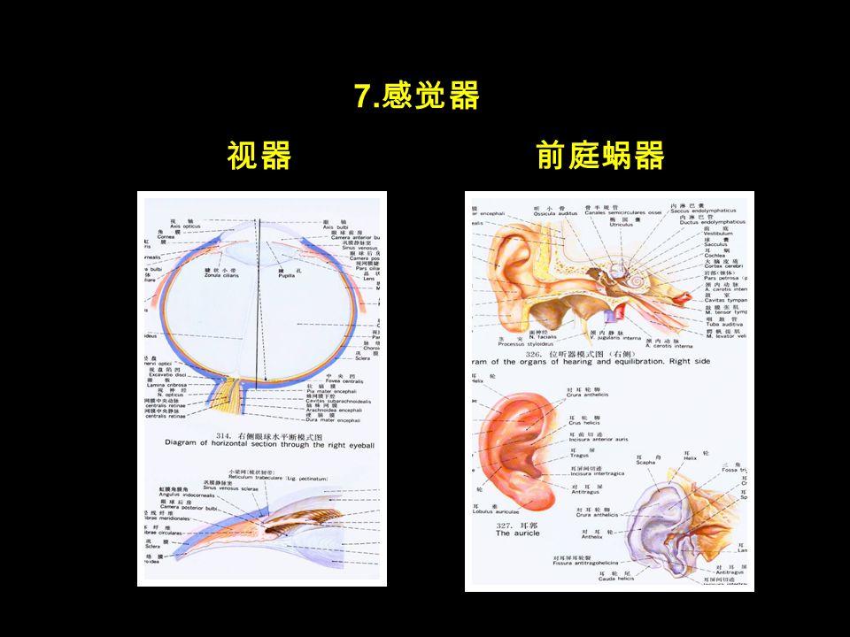 7. 感觉器 视器前庭蜗器