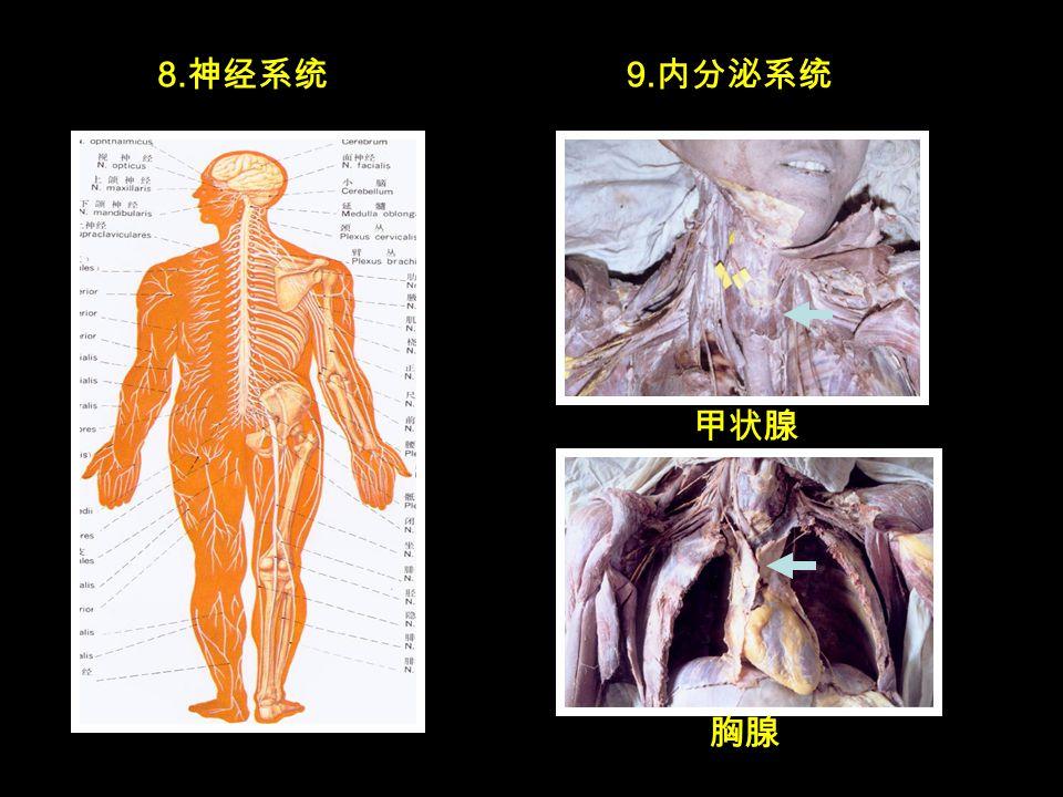 8. 神经系统 甲状腺 9. 内分泌系统 胸腺
