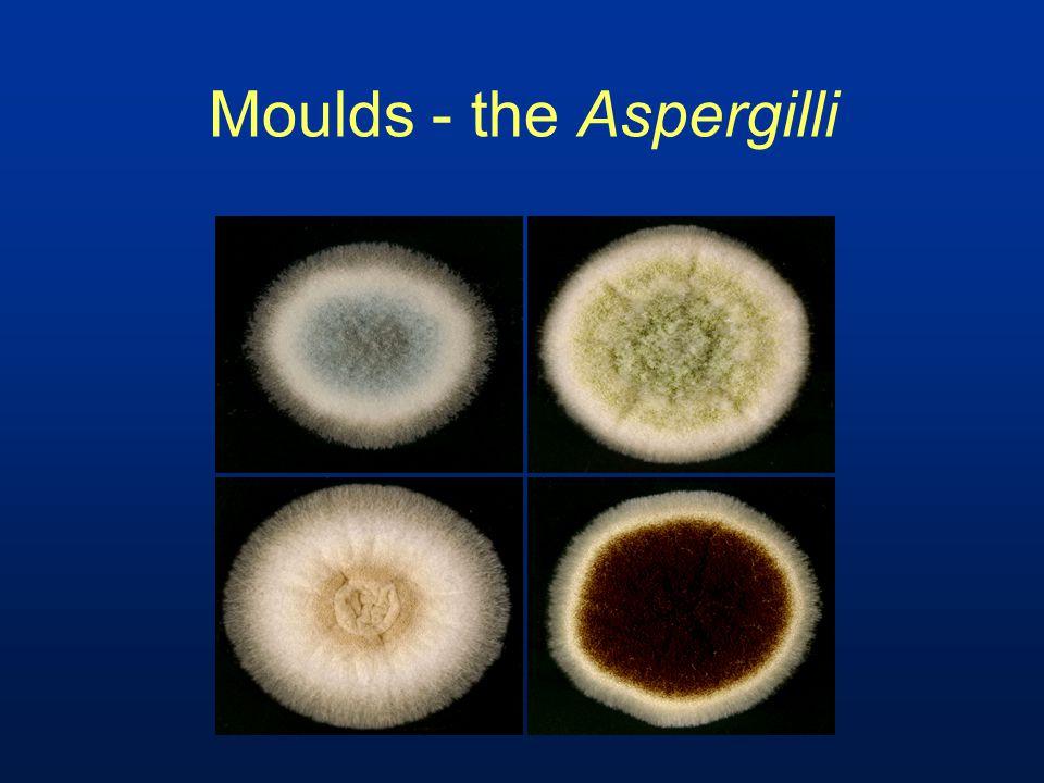 Moulds - the Aspergilli