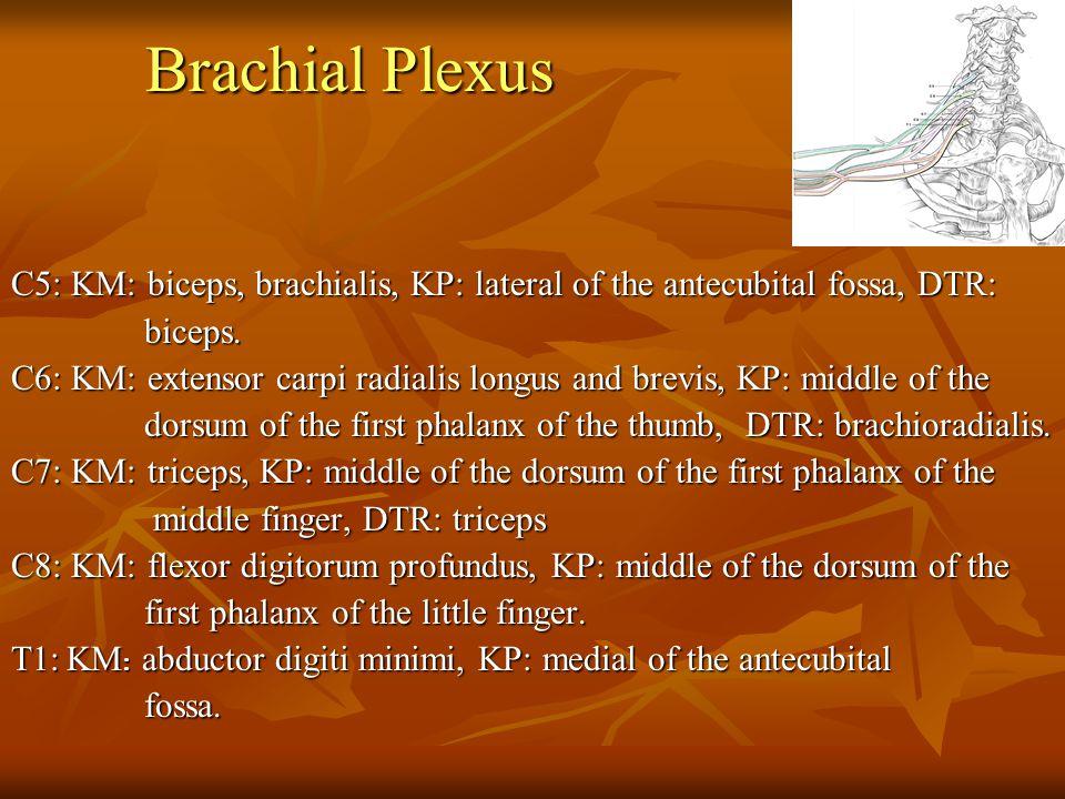 Brachial Plexus C5: KM: biceps, brachialis, KP: lateral of the antecubital fossa, DTR: biceps. biceps. C6: KM: extensor carpi radialis longus and brev
