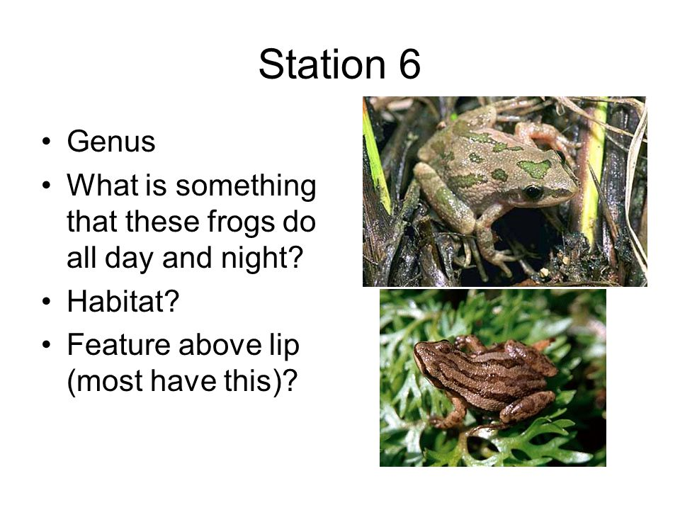 Station 6 Genus What is something that these frogs do all day and night.