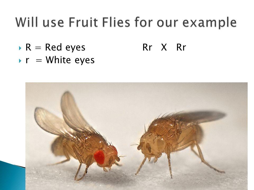  R = Red eyesRr X Rr  r = White eyes