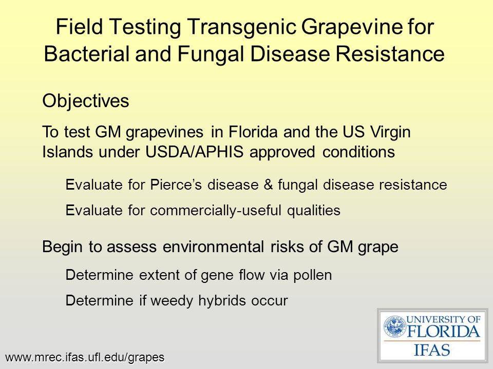 Grapevine & Genetic Improvement World's most valuable fruit cropWorld's most valuable fruit crop 10 – 12 th most valuable agricultural crop in US10 – 12 th most valuable agricultural crop in US But - Grape is particularly difficult to improve geneticallyBut - Grape is particularly difficult to improve genetically –Genetic self-incompatibility makes breeding new varieties difficult –Long grape lifecycle – years to make recurrent crosses –Fine discrimination of wine type makes breeding a new Cabernet impossible These obstacles have led to little improvement of desirable varieties, such as adding disease resistance to established wine varietiesThese obstacles have led to little improvement of desirable varieties, such as adding disease resistance to established wine varieties –An exception has been for table grape breeding where improved fruit types have been created by laborious breeding The Opportunity: