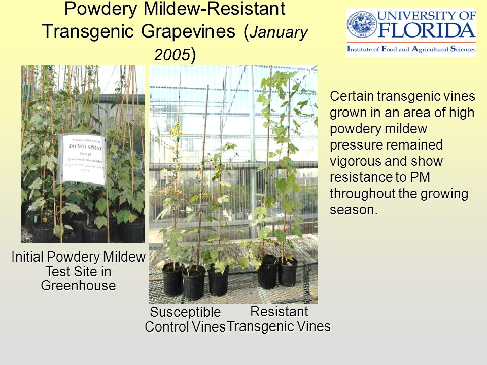 Powdery Mildew-Resistant Transgenic Grapevines ( January 2005 ) Initial Powdery Mildew Test Site in Greenhouse Susceptible Control Vines Resistant Tra