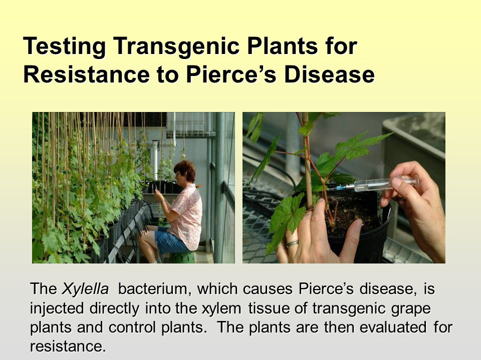 Testing Transgenic Plants for Resistance to Pierce's Disease The Xylella bacterium, which causes Pierce's disease, is injected directly into the xylem