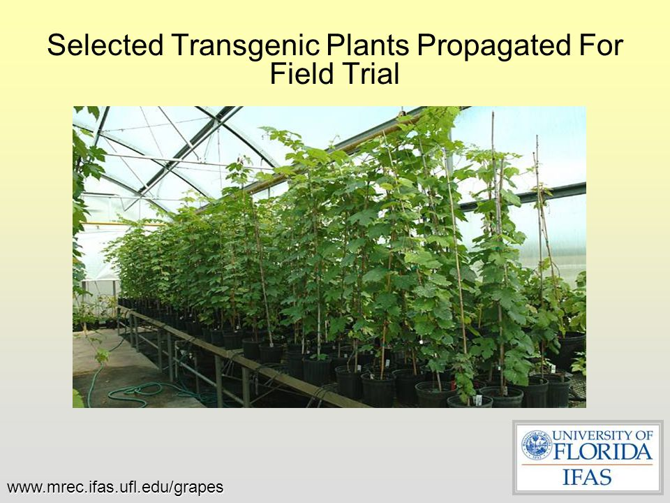 Selected Transgenic Plants Propagated For Field Trial www.mrec.ifas.ufl.edu/grapes
