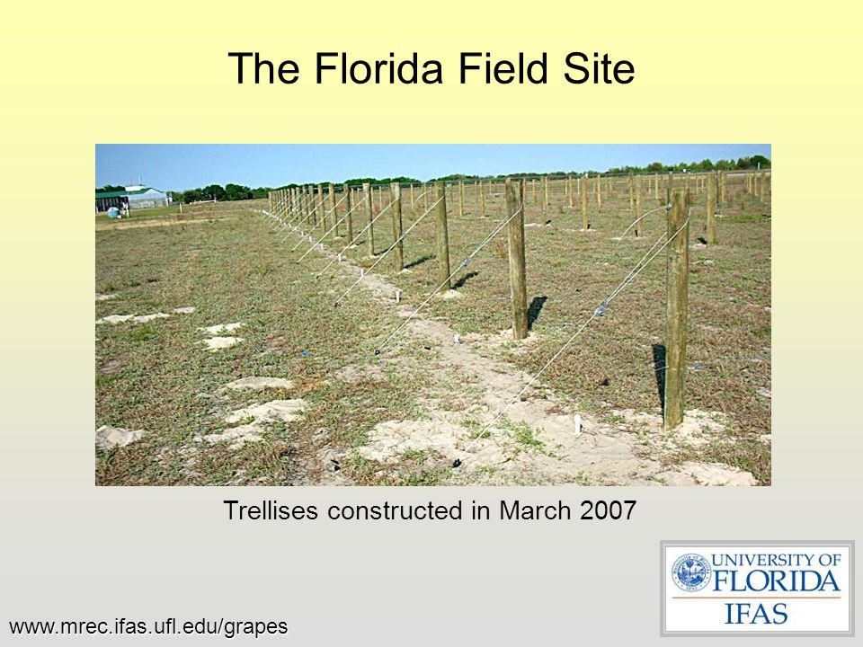 Trellises constructed in March 2007 The Florida Field Site www.mrec.ifas.ufl.edu/grapes