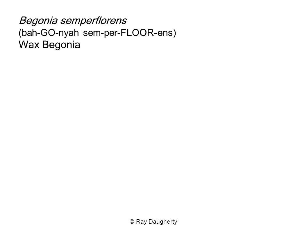 Begonia semperflorens (bah-GO-nyah sem-per-FLOOR-ens) Wax Begonia
