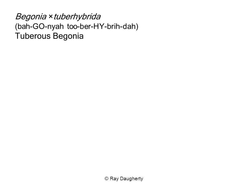 Begonia ×tuberhybrida (bah-GO-nyah too-ber-HY-brih-dah) Tuberous Begonia