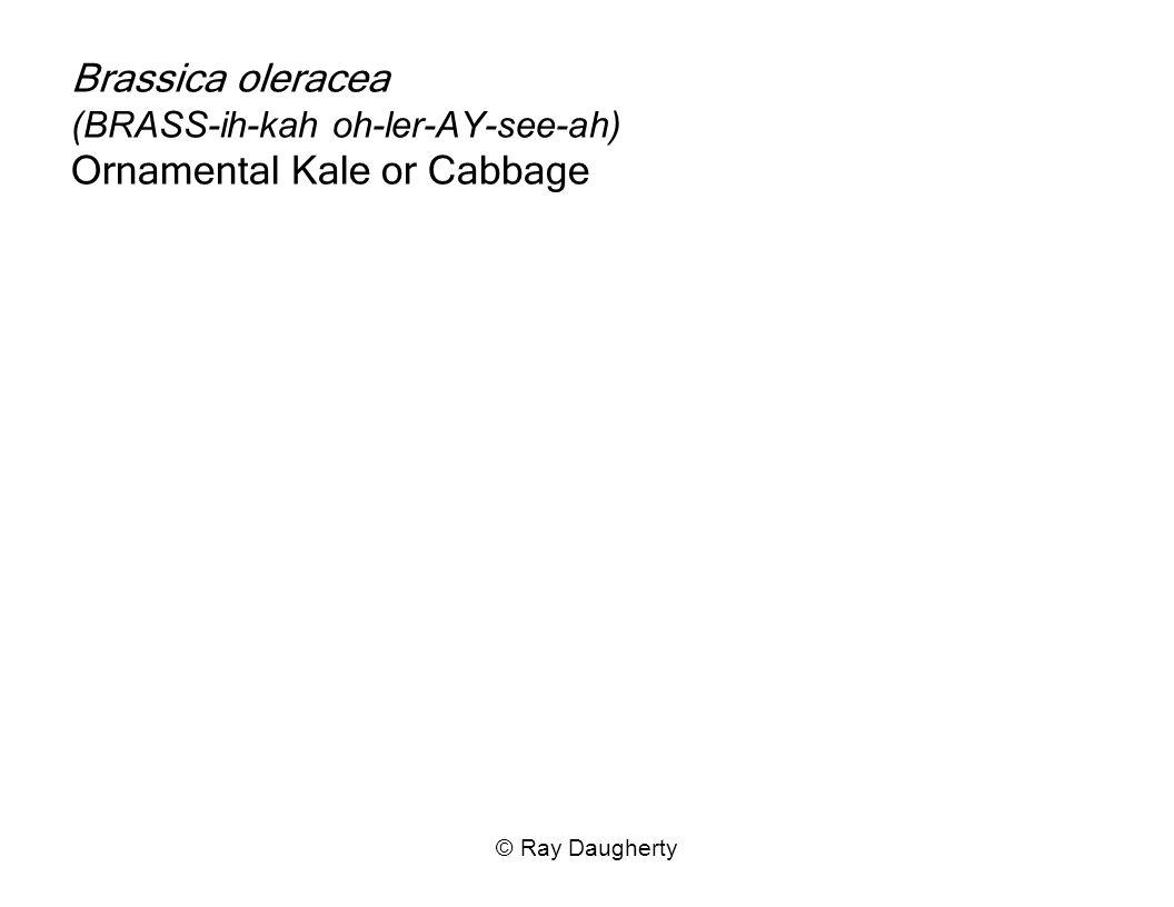 Brassica oleracea (BRASS-ih-kah oh-ler-AY-see-ah) Ornamental Kale or Cabbage