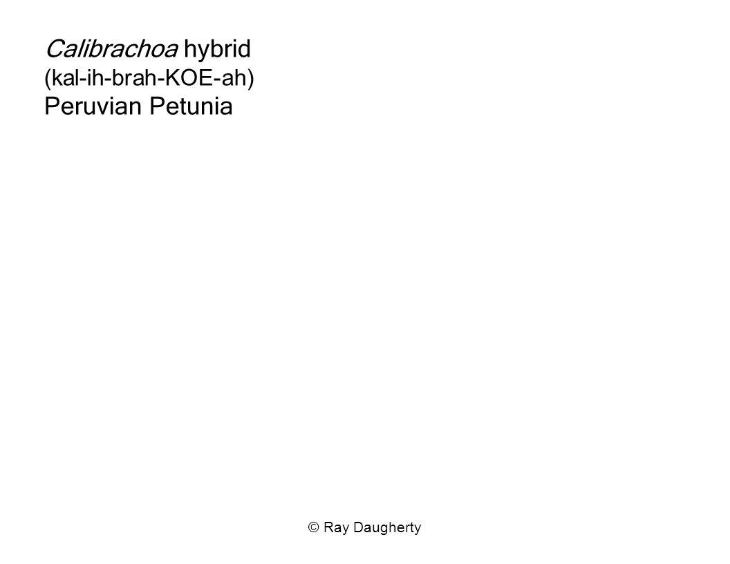 Calibrachoa hybrid (kal-ih-brah-KOE-ah) Peruvian Petunia