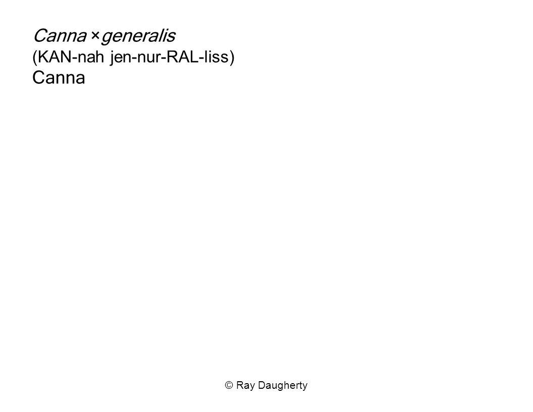 Canna ×generalis (KAN-nah jen-nur-RAL-liss) Canna