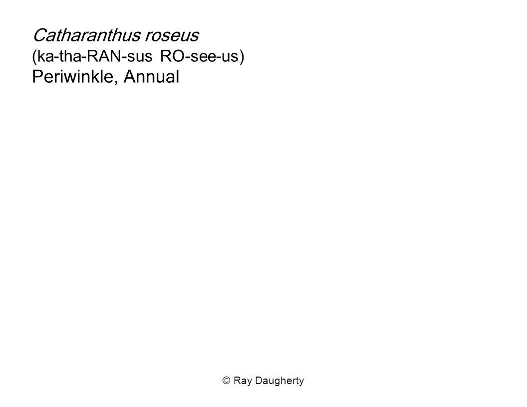 Catharanthus roseus (ka-tha-RAN-sus RO-see-us) Periwinkle, Annual