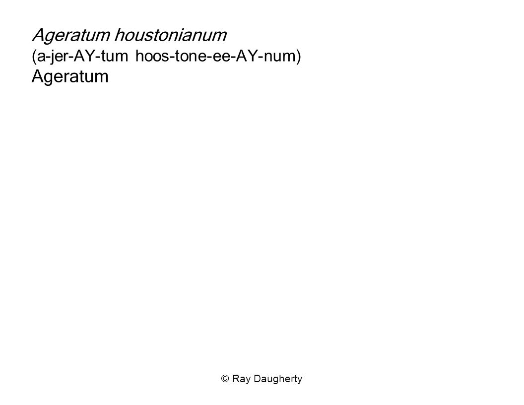 © Ray Daugherty Ageratum houstonianum (a-jer-AY-tum hoos-tone-ee-AY-num) Ageratum
