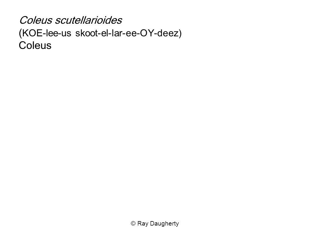 Coleus scutellarioides ( KOE-lee-us skoot-el-lar-ee-OY-deez) Coleus