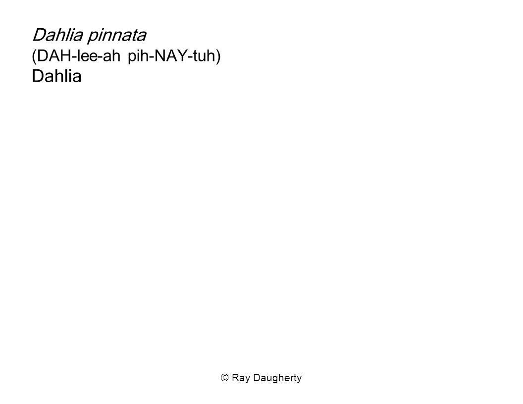 Dahlia pinnata (DAH-lee-ah pih-NAY-tuh) Dahlia