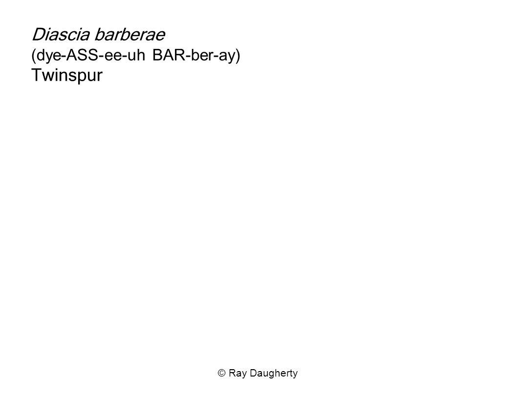 Diascia barberae (dye-ASS-ee-uh BAR-ber-ay) Twinspur