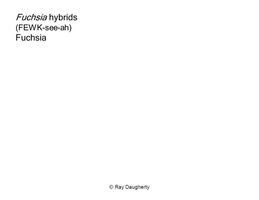 Fuchsia hybrids (FEWK-see-ah) Fuchsia