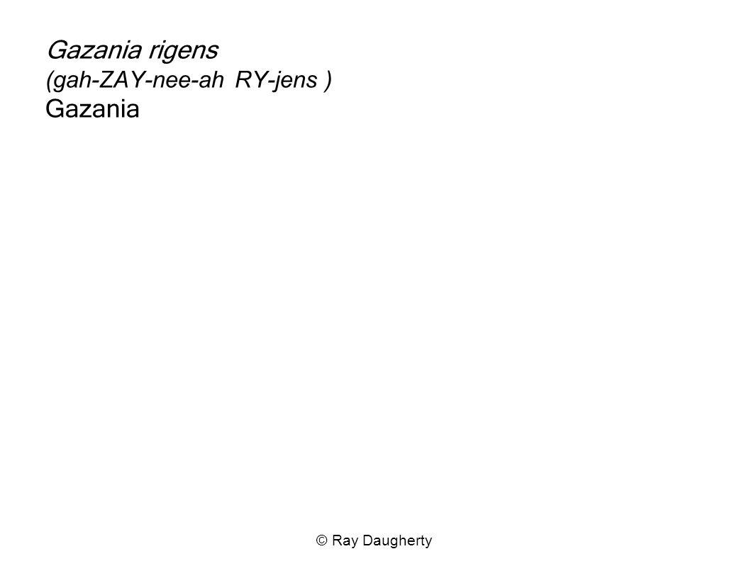 Gazania rigens (gah-ZAY-nee-ah RY-jens ) Gazania