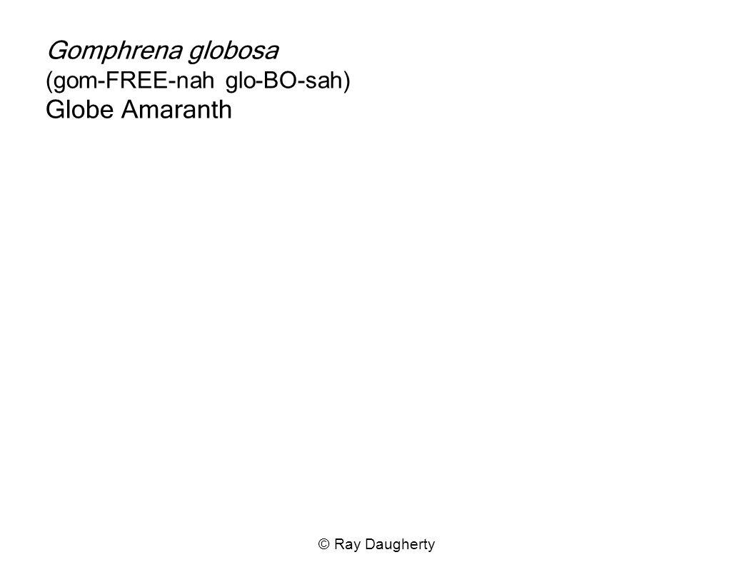 Gomphrena globosa (gom-FREE-nah glo-BO-sah) Globe Amaranth