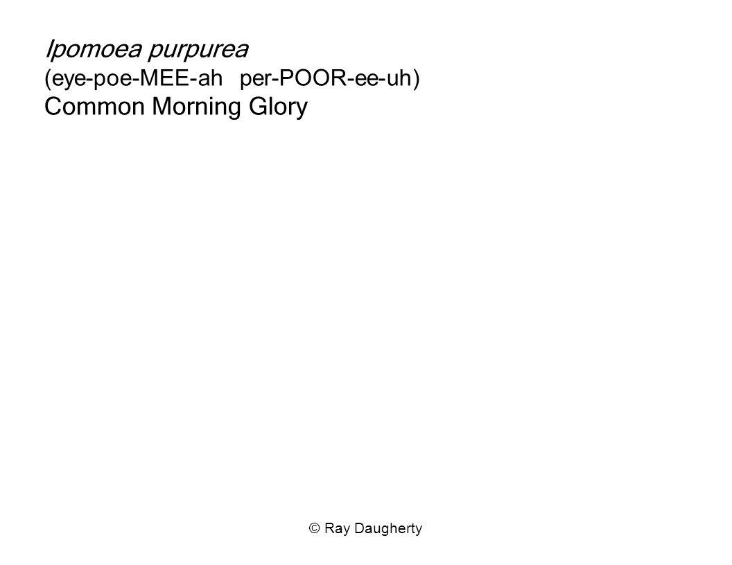 Ipomoea purpurea (eye-poe-MEE-ah per-POOR-ee-uh) Common Morning Glory