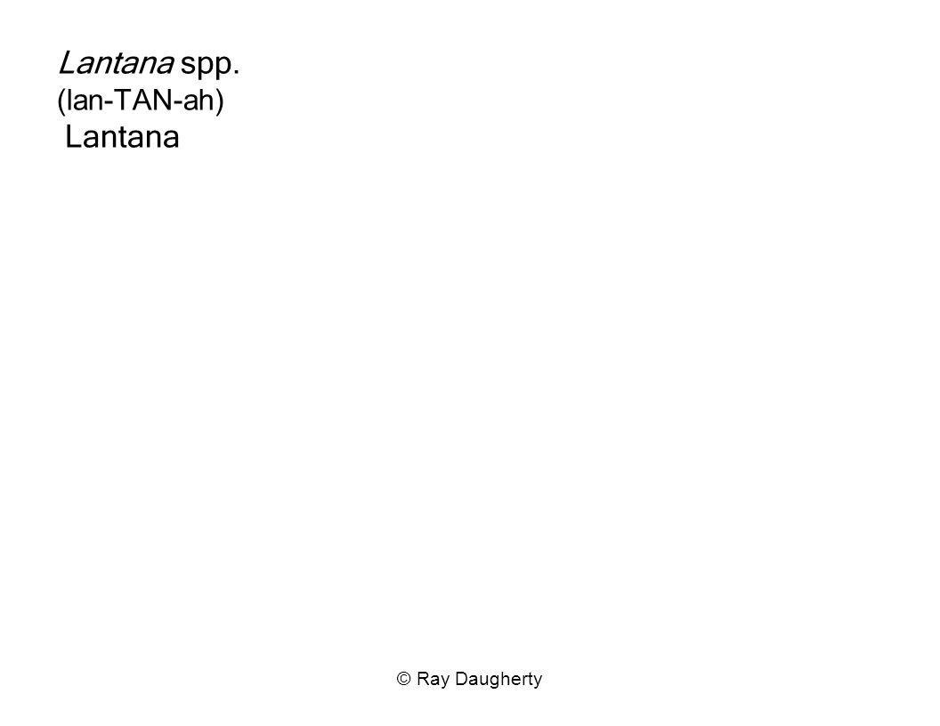 Lantana spp. (lan-TAN-ah) Lantana