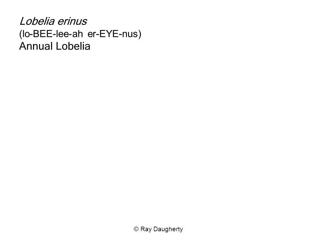 Lobelia erinus (lo-BEE-lee-ah er-EYE-nus) Annual Lobelia