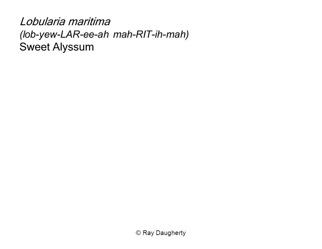 Lobularia maritima (lob-yew-LAR-ee-ah mah-RIT-ih-mah) Sweet Alyssum