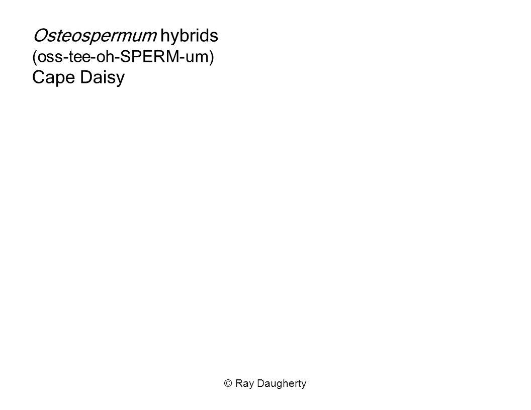 Osteospermum hybrids (oss-tee-oh-SPERM-um) Cape Daisy