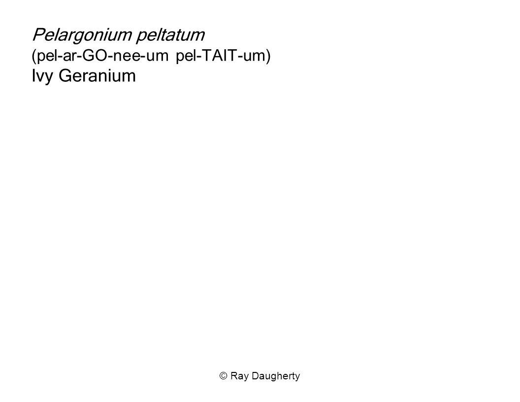 Pelargonium peltatum (pel-ar-GO-nee-um pel-TAIT-um) Ivy Geranium