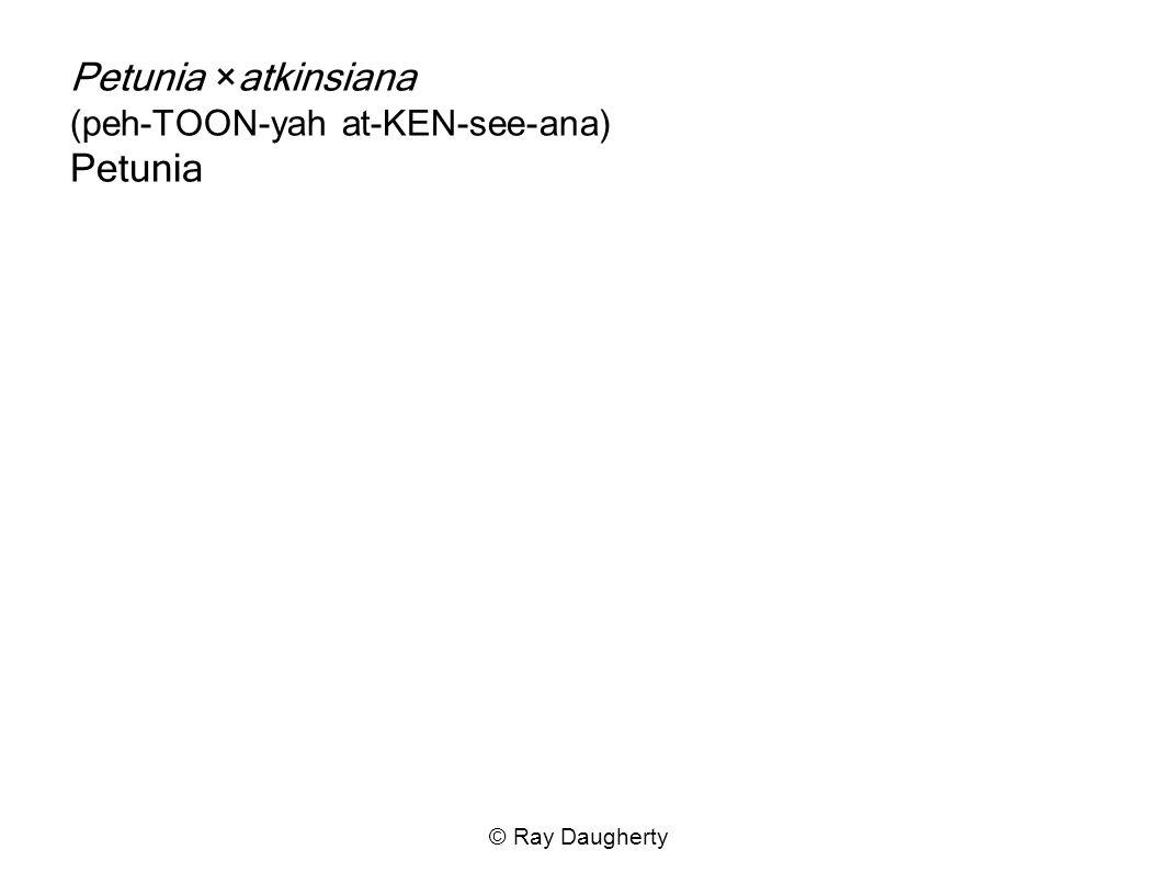 Petunia ×atkinsiana (peh-TOON-yah at-KEN-see-ana) Petunia