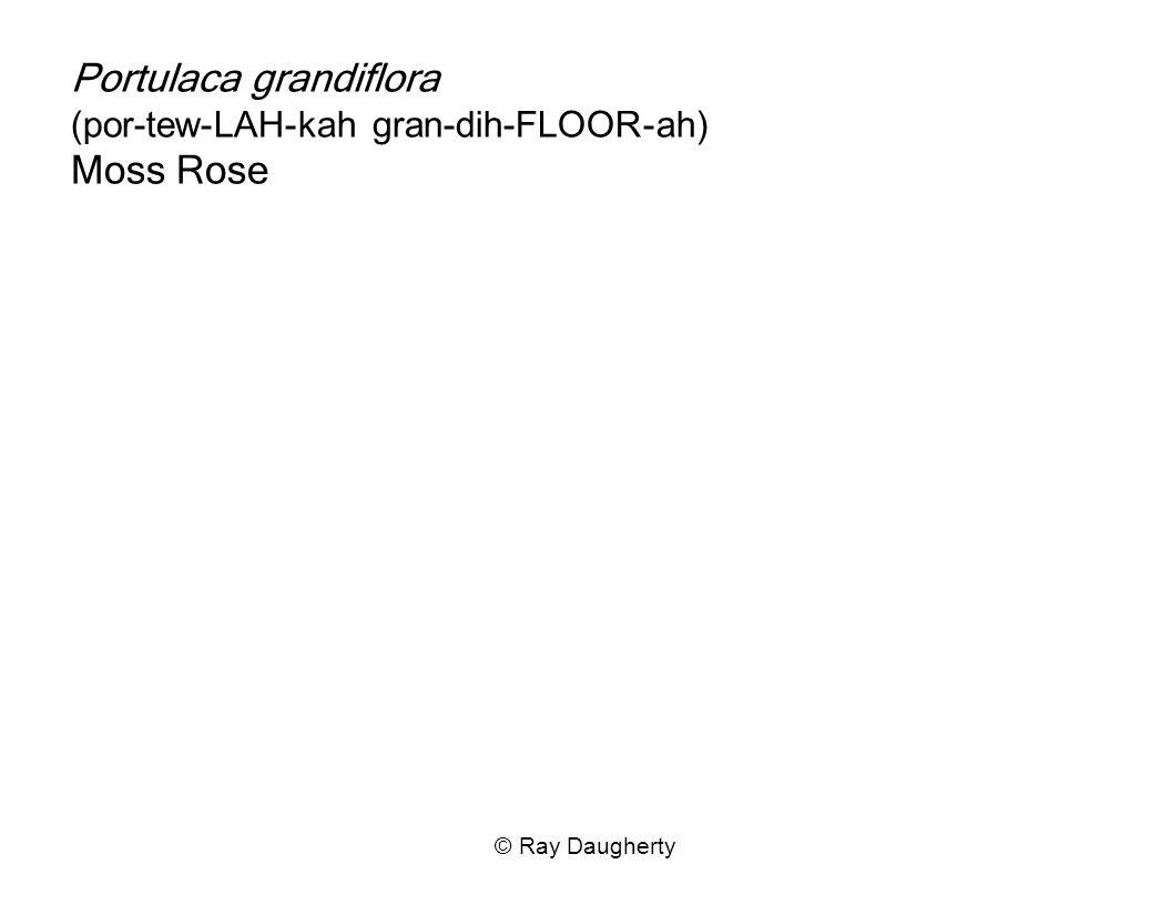 Portulaca grandiflora (por-tew-LAH-kah gran-dih-FLOOR-ah) Moss Rose