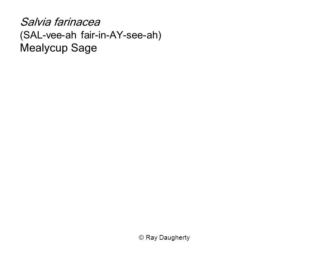 Salvia farinacea (SAL-vee-ah fair-in-AY-see-ah) Mealycup Sage