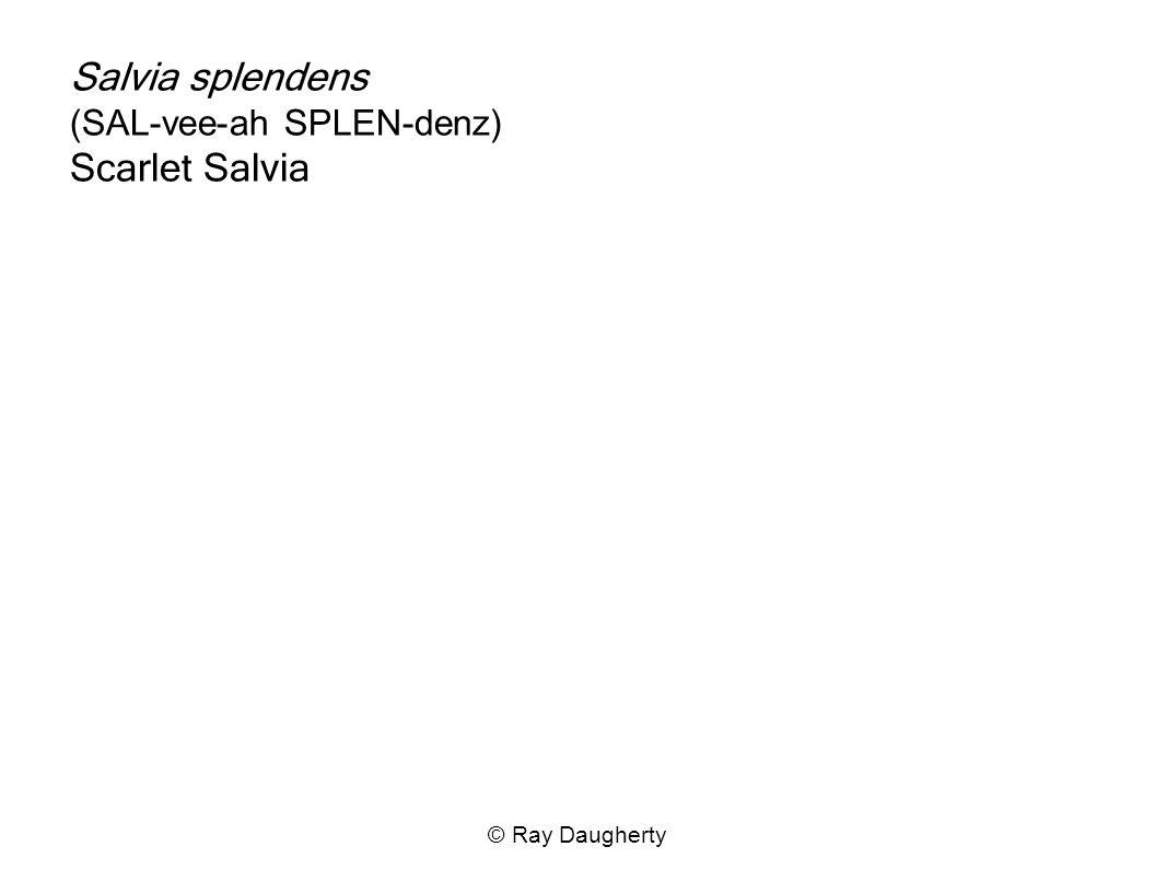 Salvia splendens (SAL-vee-ah SPLEN-denz) Scarlet Salvia