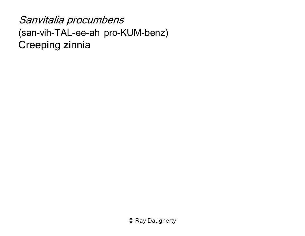 Sanvitalia procumbens (san-vih-TAL-ee-ah pro-KUM-benz) Creeping zinnia