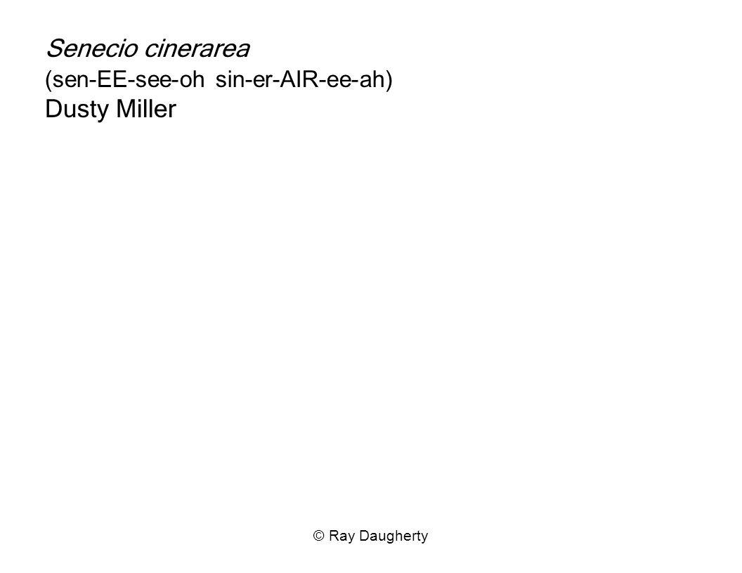 Senecio cinerarea (sen-EE-see-oh sin-er-AIR-ee-ah) Dusty Miller