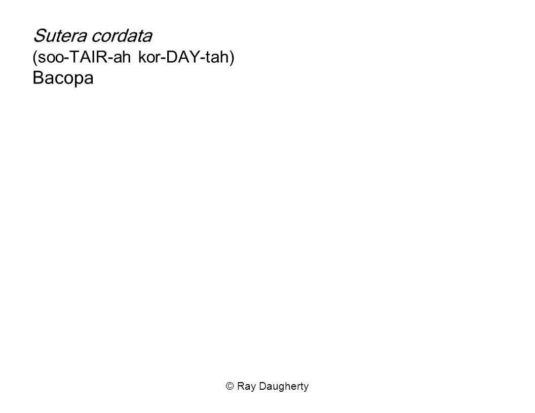Sutera cordata (soo-TAIR-ah kor-DAY-tah) Bacopa