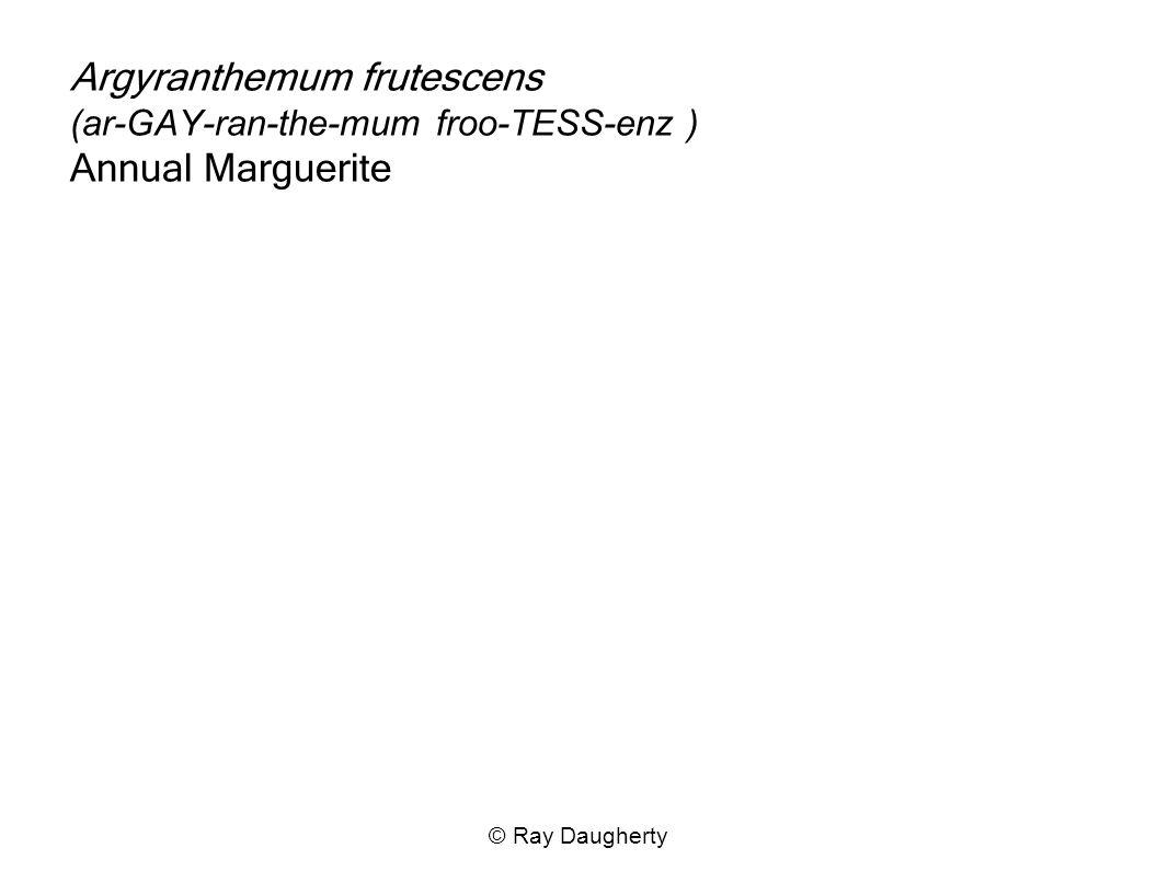 Argyranthemum frutescens (ar-GAY-ran-the-mum froo-TESS-enz ) Annual Marguerite