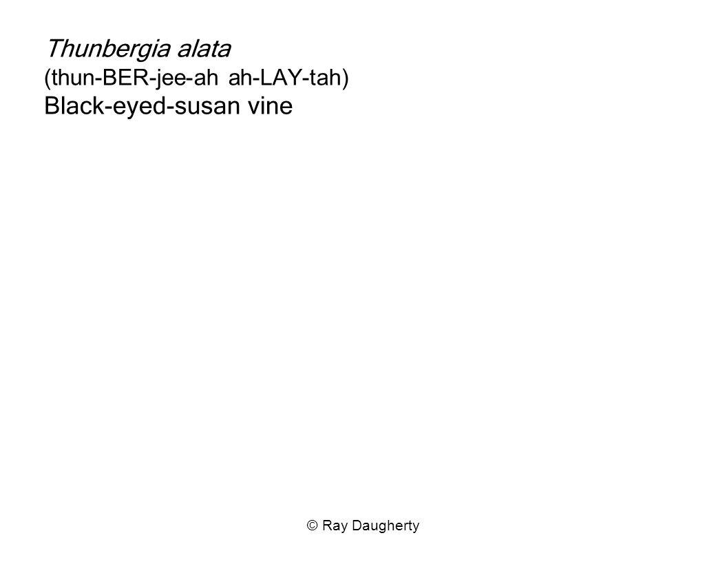 Thunbergia alata (thun-BER-jee-ah ah-LAY-tah) Black-eyed-susan vine