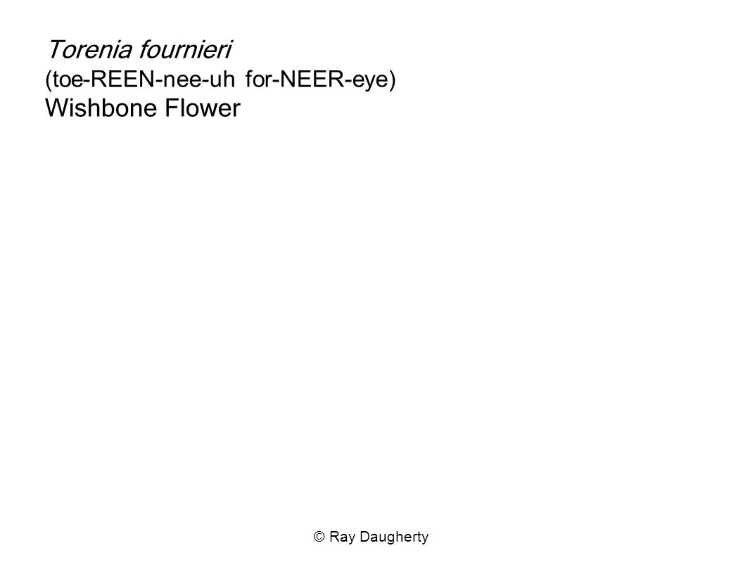 Torenia fournieri (toe-REEN-nee-uh for-NEER-eye) Wishbone Flower