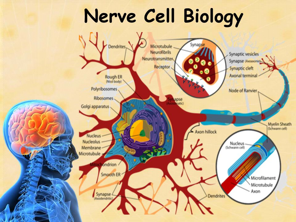 Nerve Cell Physiology Nerve impulse (think of it as a wave) travels down the axon Nerve impulse at a synapse releases a chemical Chemical crosses the synapse and starts another impulse on another nerve cell Large number of drugs and biochemicals interact with this physiological mechanism